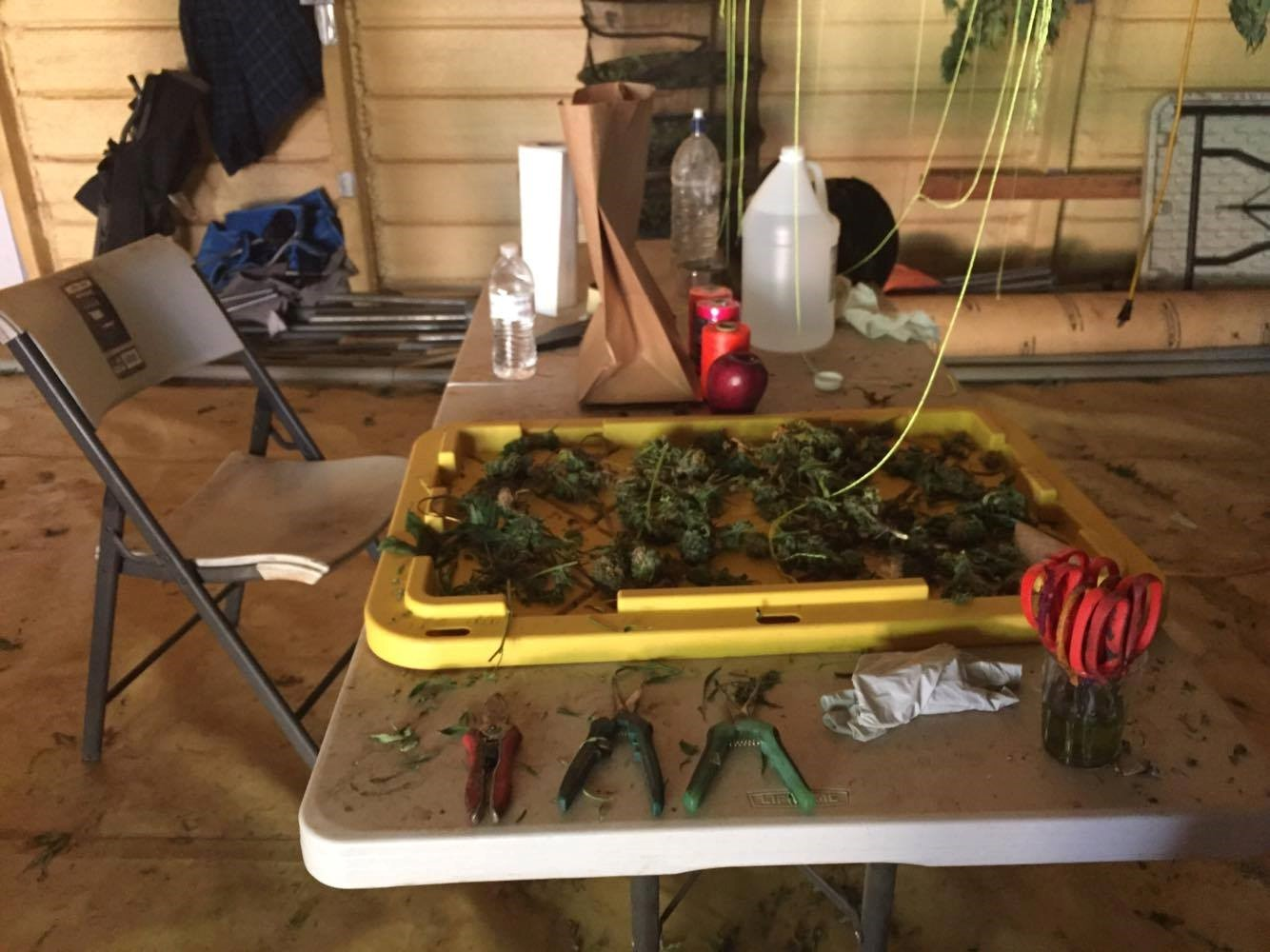 Trimming table on a cannabis farm