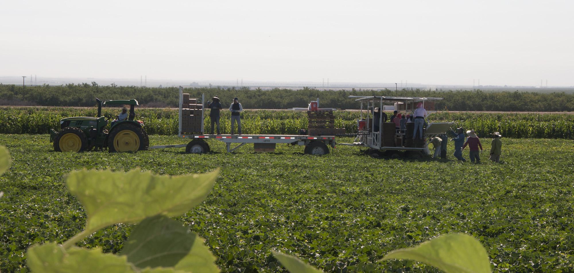 Harvesting melons at the Del Bosque Farms