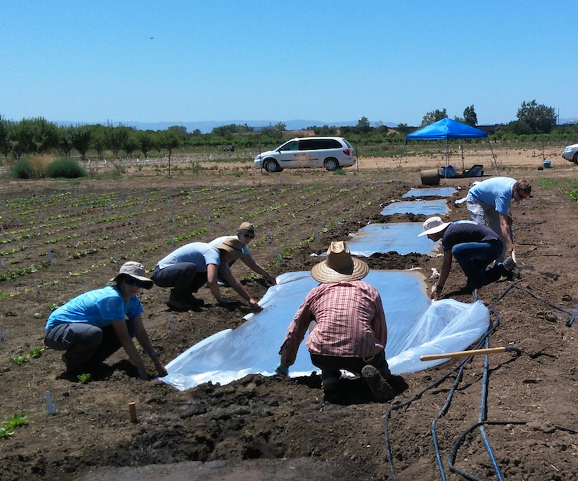 Laying of plastic tarp for biosolarization