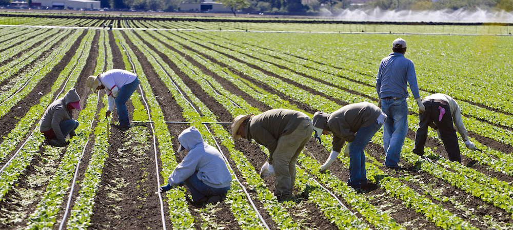 Immigrant farmworkers in field