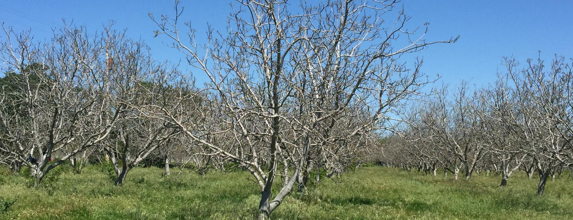orchard of walnut trees without leaves in winter