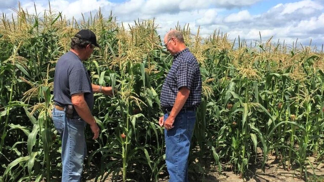 Farmers examining corn growing in field