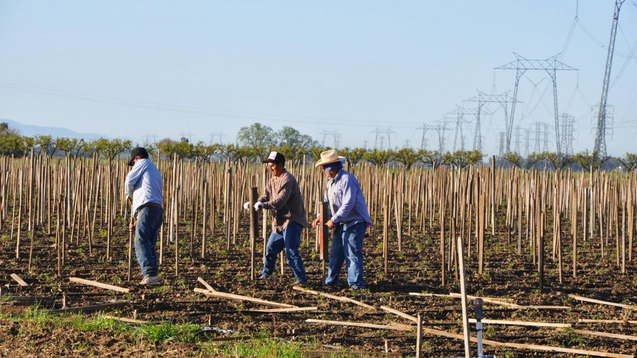 Farmworkers putting stakes up in field on summer day
