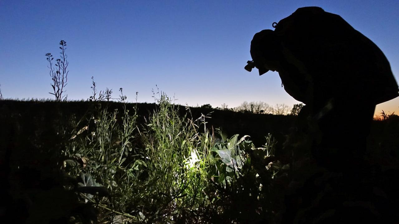 Farmworker with head lamp at dusk