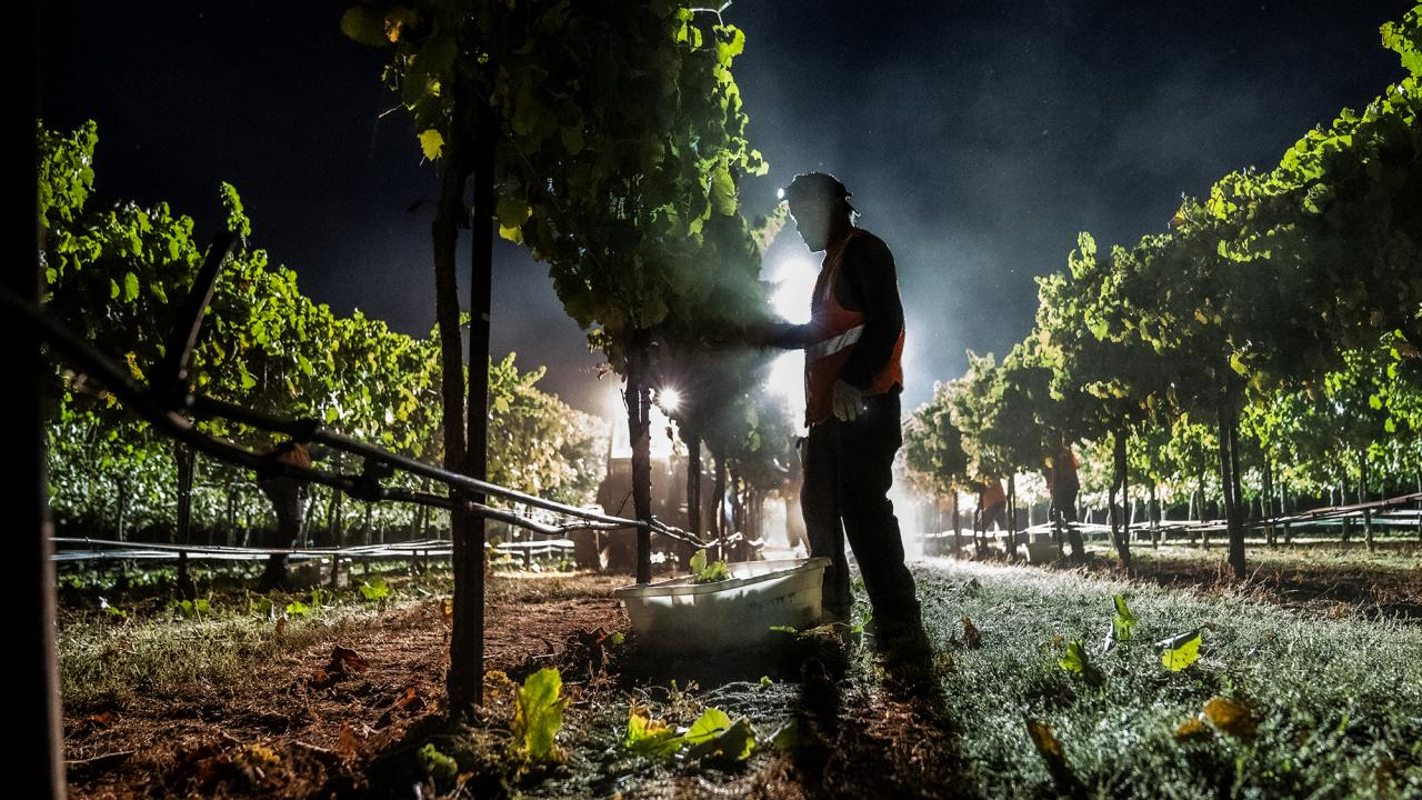 Area light silhouettes farmworker harvesting grapes at night
