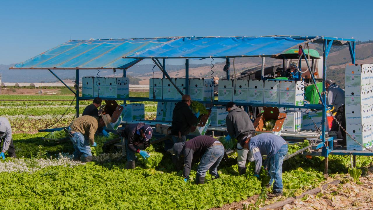 Lettuce workers stooping to harvest lettuce