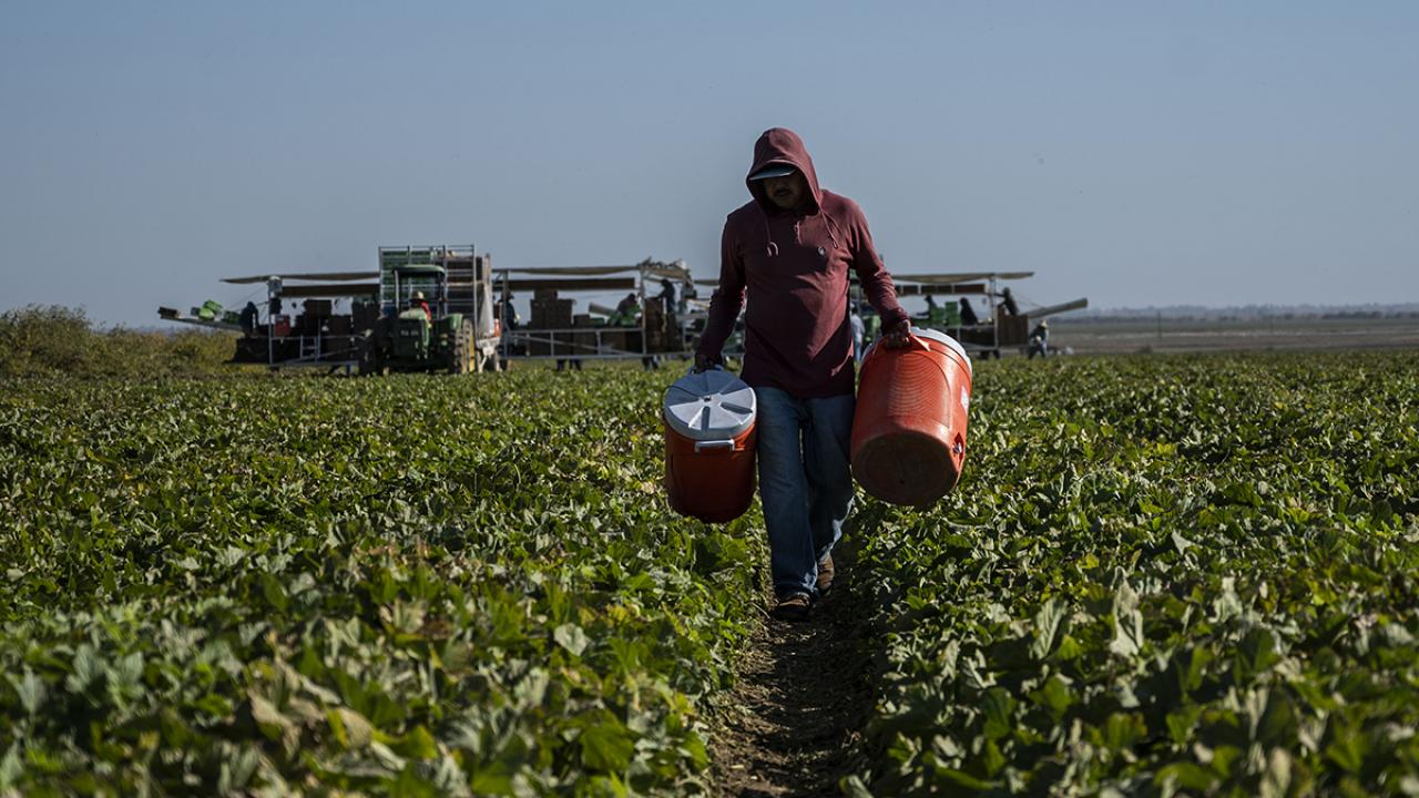 Farmworker carrying water cooler through melon field