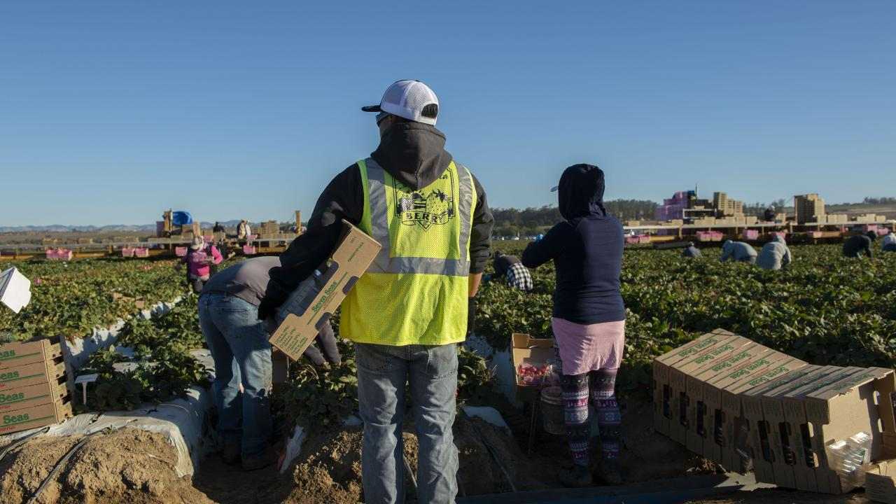 A supervisor observes workers harvesting strawberries