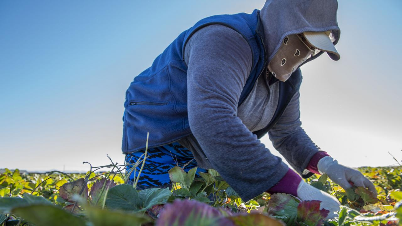 Farmworker harvesting strawberries wears a cloth face covering