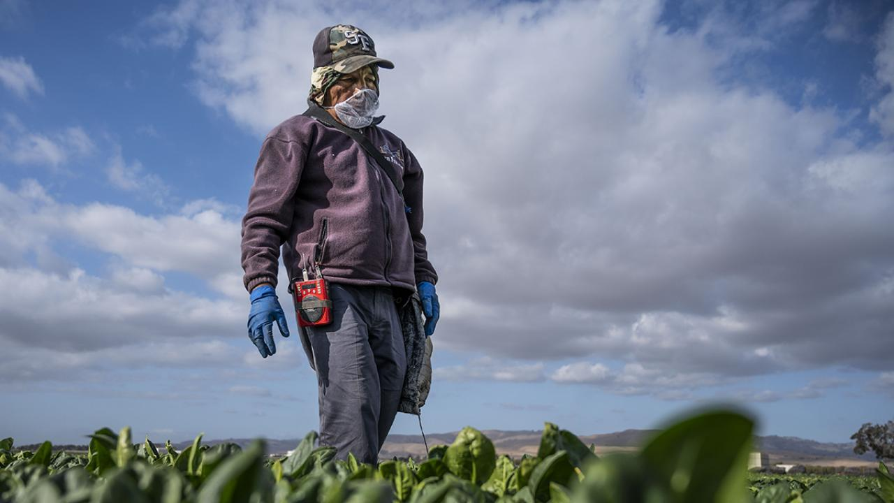 Farmworker standing in a spinach field