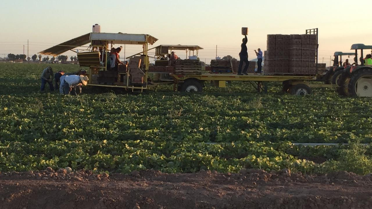Farmworkers harvesting melons