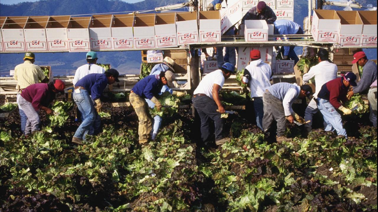 Workers harvesting lettuce