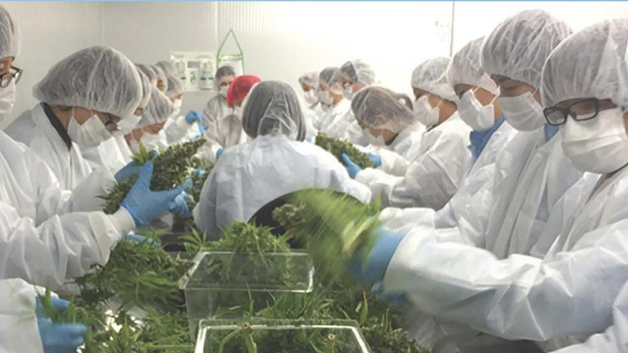 Cannabis research assembly line