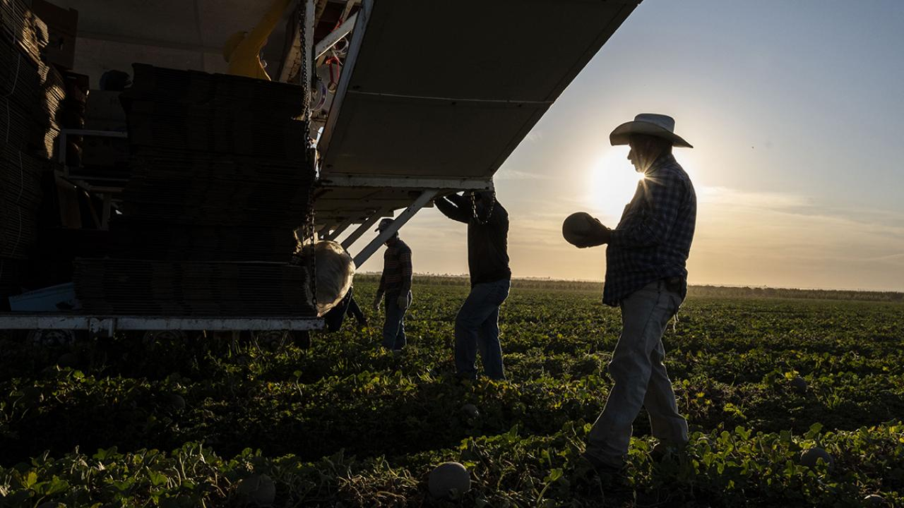 Farmworkers harvesting melons in silhouette
