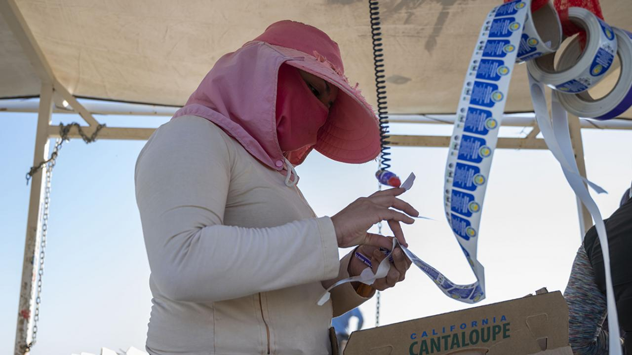 Female farmworker picks stickers for melons