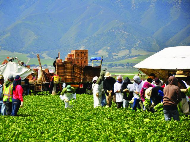 Farmworkers harvest lettuce in the field