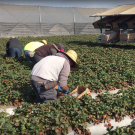 Strawberry harvest workers