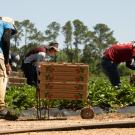 Farmworkers harvesting strawberries