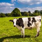 Dairy Cow in Field