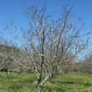 Almond trees in winter no leaves in green field blue sky