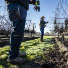 Farmworkers in a vineyard